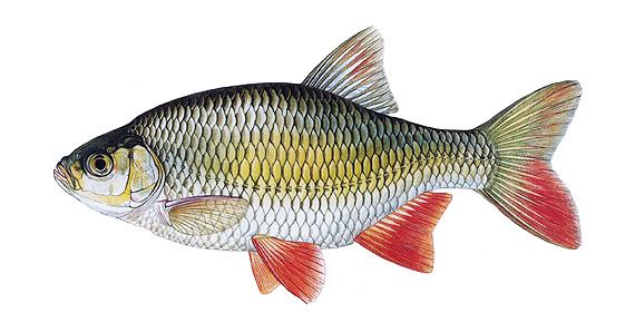 Perl n ostrob ich for Gartenteichfische arten