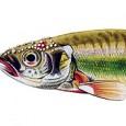 Phoxinus phoxinus kaprovití»Střevle»Střevle potoční Tuková ploutvička: nemá Barva hřbetu: hnědozelená Barva boků: světle zelená Barva břicha: bílá s růžovým nádechem […]
